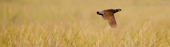 Black Francolin, by Sergio Seipke