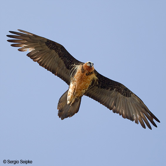 Bearded Vulture (Gypaetus barbatus), adult.