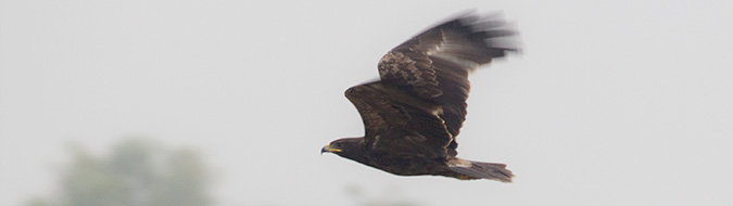 Indian Spotted Eagle (Clanga hastata), by Sergio Seipke