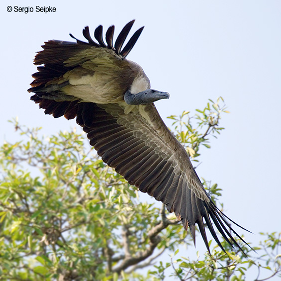 Slender-billed Vulture (Gyps tenuirostris) by Sergio Seipke