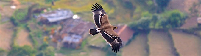 Steppe Eagle juvenile from above, by Sergio Seipke