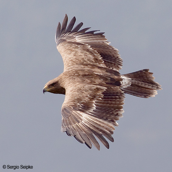 Steppe Eagle (Aquila nipalensis), adult on migration.