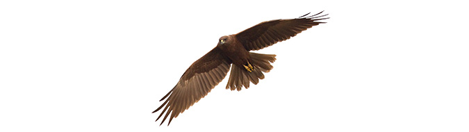 Western Marsh Harrier in Lumbini, by Sergio Seipke