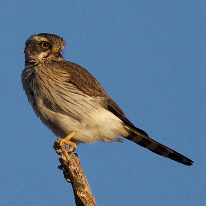 Spot-winged Falconet (Spiziapteryx circumcincta)