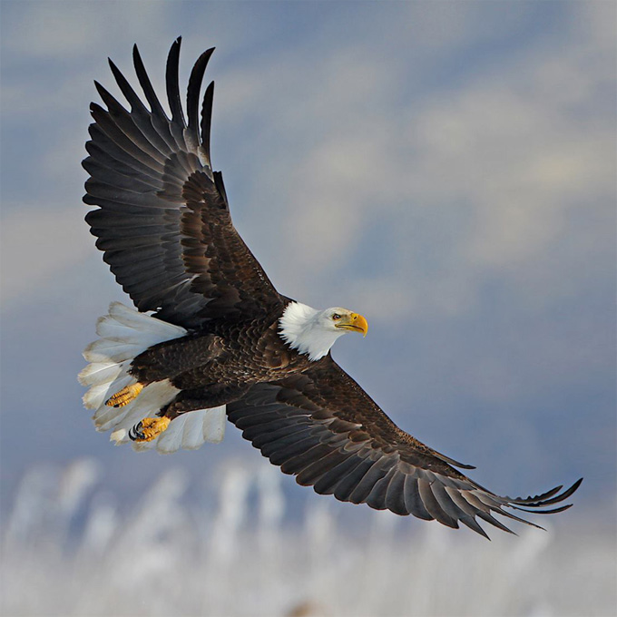 Bald Eagle (Haliaeetus leucocephalus), by Jerry Liguori