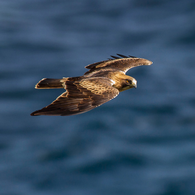 Booted Eagle, by Javi Elorriaga