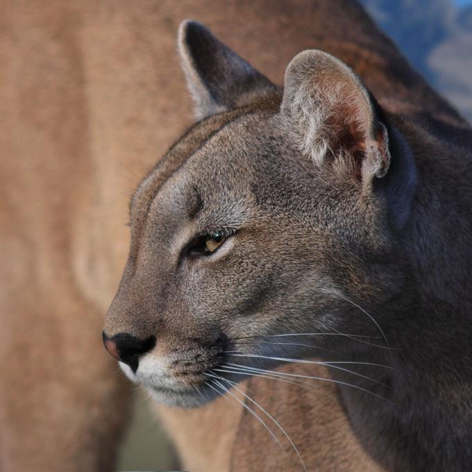 Puma, Cougar, Mountain Lion (Puma concolor)
