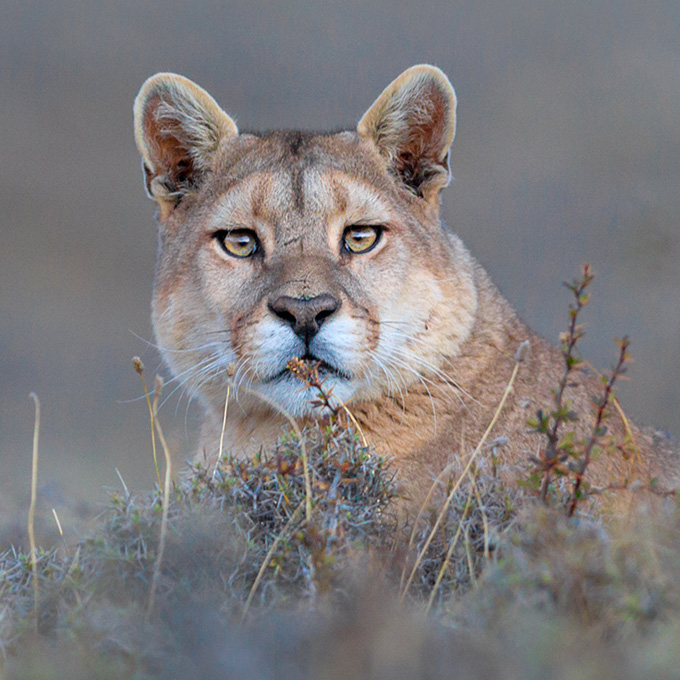 Puma (Puma concolor) in Torres del Paine, Chile by Dario Podesta