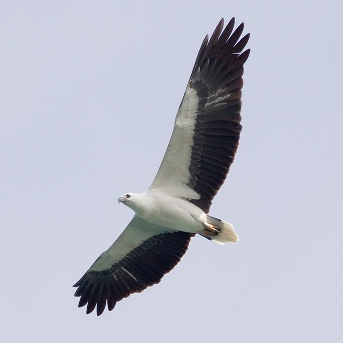 White-bellied Sea Eagle (Haliaeetus leucogaster), adult