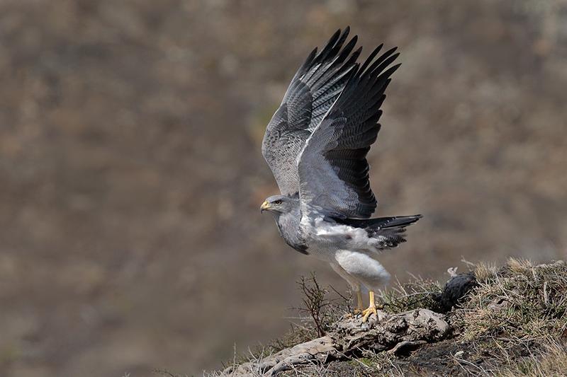 Black-chested Buzzard-Eagle (Geranoaetus melanoleucus), by Dario Podesta