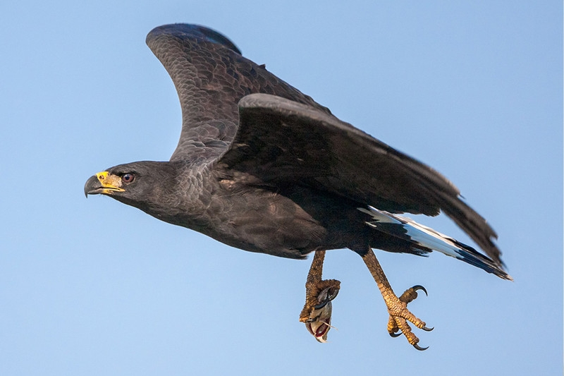 Great Black Hawk, by Darío Podestá