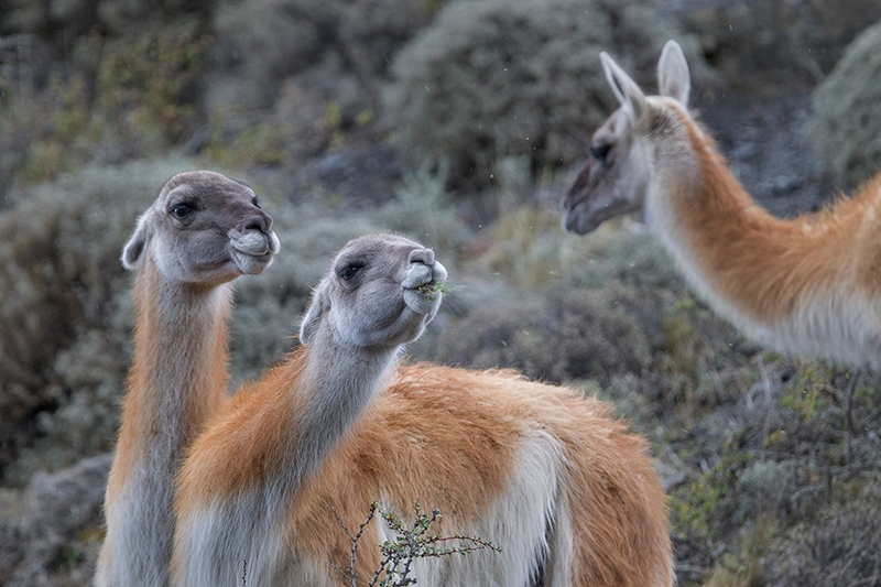 Guanacos (Lama guanicoe), by Dario Podesta