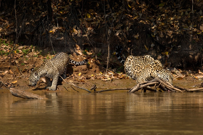 Mother and cub Jaguars, by Darío Podestá