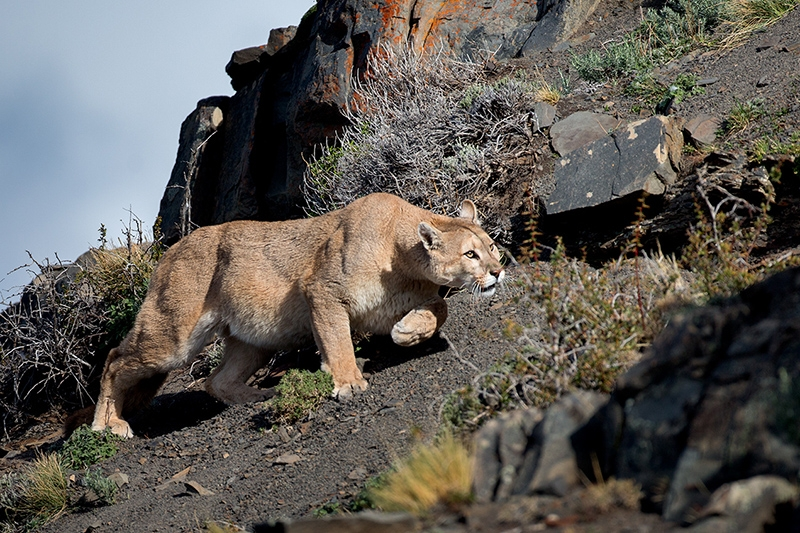 Puma (Puma concolor) in Torres del Paine, by Dario Podesta