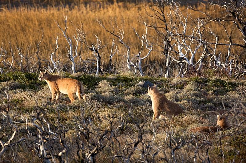 Puma (Puma concolor) family, by Dario Podesta