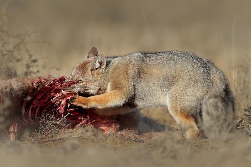 South American Gray Fox, by Dario Podesta