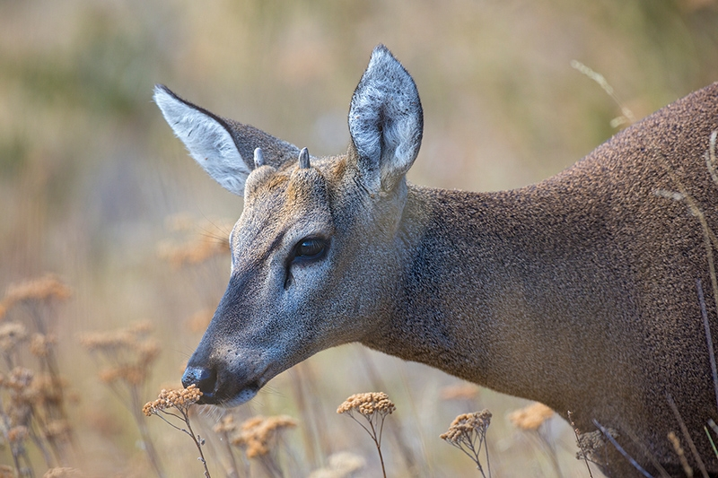 South Andean Deer (Hippocamelus bisulcus), by Dario Podesta