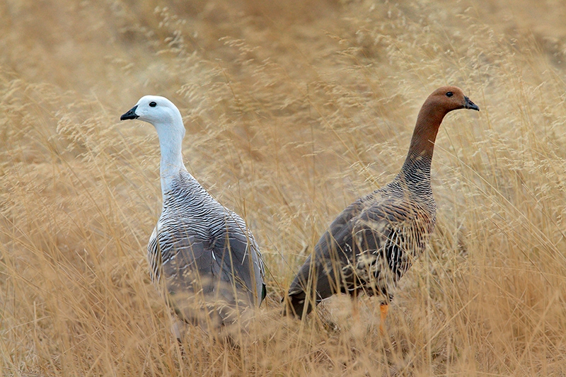 Upland Geese (Cloephaga picta), by Dario Podesta
