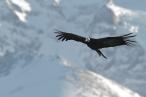 Andean Condor (Vulture gryphus), by Dario Podesta