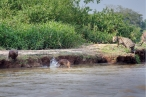 Capybaras fleeing from Jaguar, by Darío Podestá
