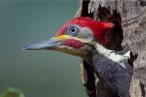 Lineated Woodpecker, by Darío Podestá