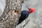 Magellanic Woodpecker (Campephilus magellanicus), by Dario Podesta