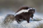 Patagonian Hog-nosed Skunk (Conepatus humboldtii), by Dario Podesta