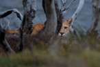 Puma (Puma concolor), by Dario Podesta