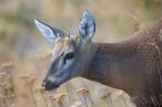 South Andean Deer (Hippocamelus bisulcus), by Dario Podesta