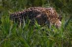 Stealthy Jaguar, by Darío Podestá